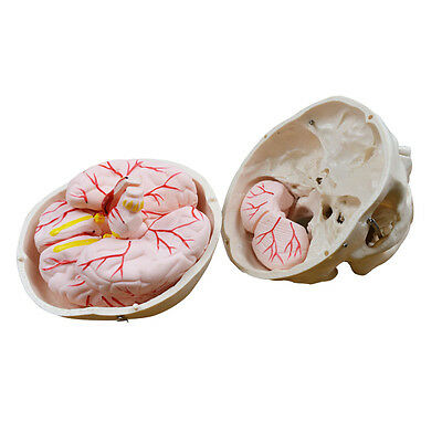 Life Size Anatomical Human Skull wiht Brain Teaching Model Precise New