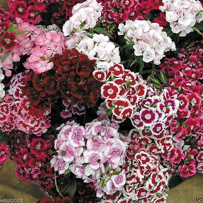 100 Pcs Mixed Colors Dianthus Sweet William Bonsai Flower Seeds DIY Home Garden