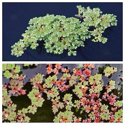 Fairy Moss Floating Pond  Plants Green water control moss plant Koi food fish