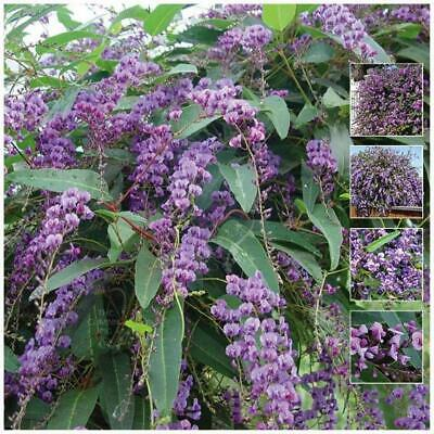 "Hardenbergia Violacea ""Happy Wanderer"" seeds. Native evergreen wisteria climber."
