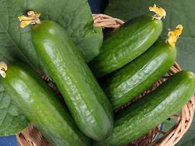 "Cucumber Seeds ""muncher Burpless"" ( 20 Seeds )"