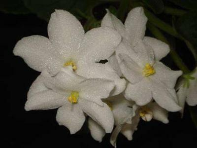 African Violet Collection of 5