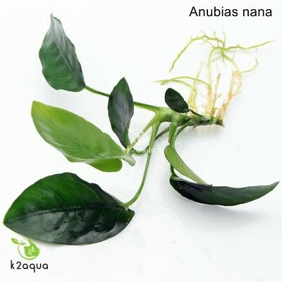 ANUBIAS NANA rooted plant for wood bogwood hardy Live Aquarium Aquatic Plants
