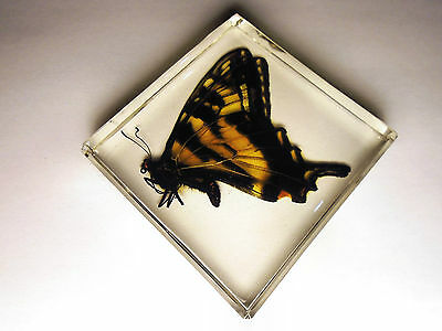 EASTERN TIGER SWALLOWTAIL. Real butterfly encapsulated in indestructible resin