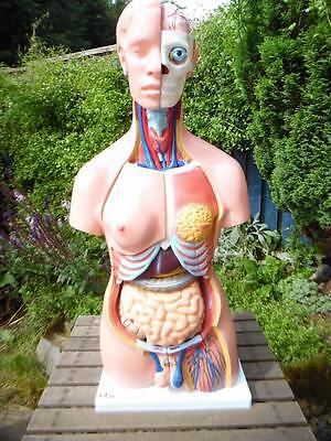66fit Anatomical human unisex torso teaching aid, 40 parts 85 cm tall