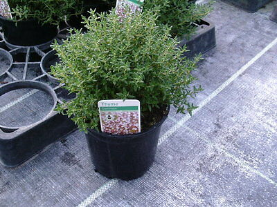 COMMON THYME - Large Herb Plant in a 14cm pot - Kitchen | Garden | Food