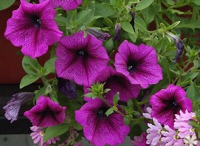 20 large flowered petunia seeds MIRAGE ORCHID  bright orchid color blooms