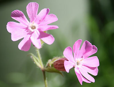 Red Campion Wild Flower Seeds Native Meadow Bee Insect Friendly Garden Perennial