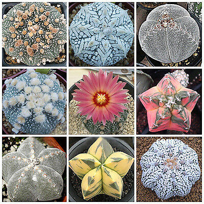 10pcs Mixed Succulent Seeds Lithops Rare Living Stones Plants Cactus Home Plant