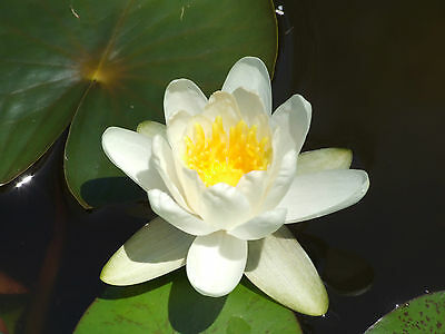 WATER LILY PLANT 'ALBA' Perfect White Cup Shaped Flowers