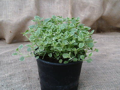 OREGANO COUNTRY CREAM - Large Herb Plant in a 14cm pot - Kitchen | Garden | Food