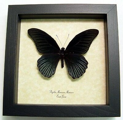 Real Framed Papilio Memnon Male The Great Mormon Butterfly 8046