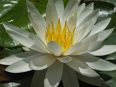 3 x WATER LILY PLANT - VIRGINIA - WHITE FLOWERS HARDY FOR DAMS & BIG PONDS