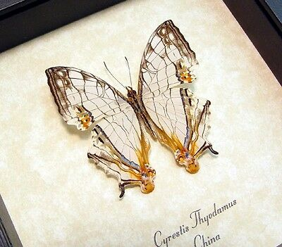 Real Framed Cyrestis Thyodamus China Road Map Butterfly 768