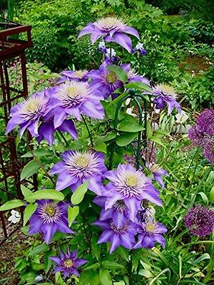 "PERFECT PLANTS ""Clematis Multi-Blue Climbing"" Plant in 3 Litre Pot"