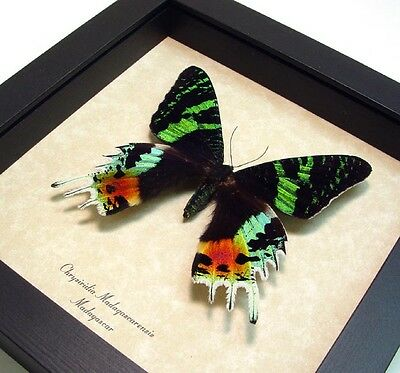 Valentine's Day Gift Real Framed Madagascar Sunset Moth Shadowbox Display 163