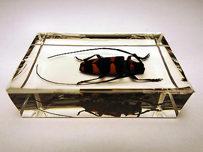 PAVEIA SUPERBA LONG-HORN. Real insect clear resin encapsulation. Entomology