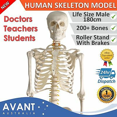 Skeleton 180cm Human Body Full Life Size Plastic Human Anatomical Medical Stand
