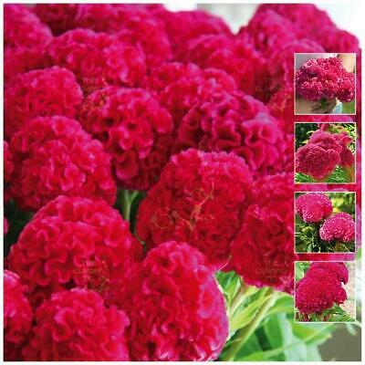 "Celosia ""Kurume™ Rose"" seeds 