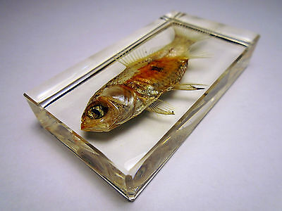 GOLDFISH. CARASSIUS AURATUS. Cyprinidae. Carp family. Embedded in crystal resin