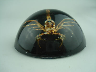 "3 1/2"" SCORPION Dome Paperweight With A Black Background"