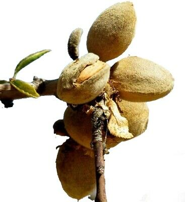 Robijn Almond Tree - Dwarf Variety Great for Smaller Gardens Apx 5-6ft - 3yrs