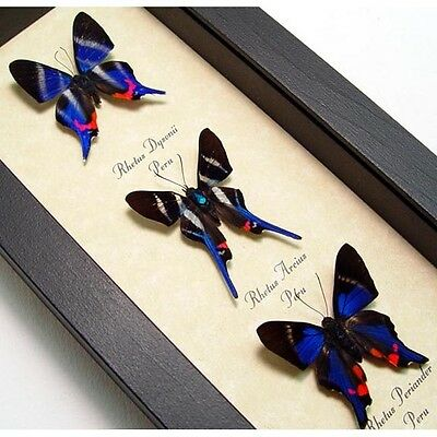 Real Framed Rhetus Small Metallic Blue Butterfly Collection 1065