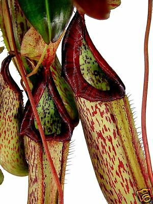 Pitcher Plant, Carnivorous! Rare Exotic, Eats Insects, 12 Seeds, Combined Ship