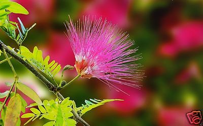 MIMOSA PUDICA SENSITIVE PLANT Moves When Touched! Exotic Houseplant Fun! 30 Seed