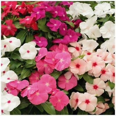 "Vinca ""BoomBox™"" seeds 
