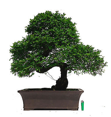 Very Large Chinese Elm indoor / outdoor bonsai tree
