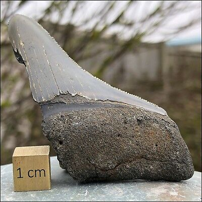 Carcharodon Megalodon Shark Tooth Fossil - from USA - Miocene Period - FSE239