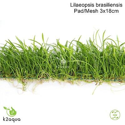 Lilaeopsis brasiliensis Brazilian Micro Sword on Wire Pad 3x18cm Shrimp Safe EU