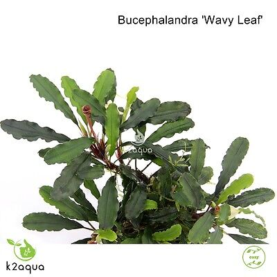 Bucephalandra sp. Wavy Leaf Live Aquarium Plants Shrimp & Snail Safe Low Tech EU