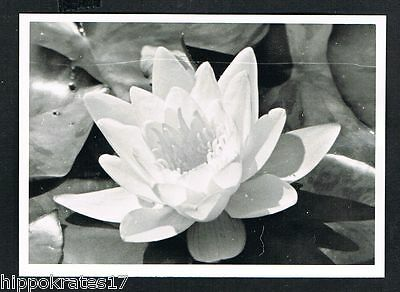 Photo vintage Foto Wasserrosen waterlilies plant botany botanique nympheas /91b