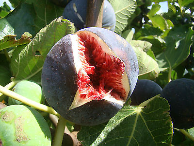 Fig Tree FICUS CARICA Babits, large fruited with red flesh, SELF FERTILE, 1L pot