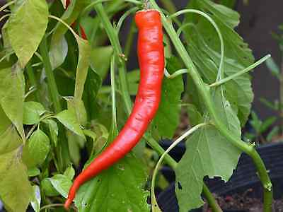 """Chilli Seeds """"GOATS HORN"""" (20 Seeds) Excellent Unusual Chilli"""