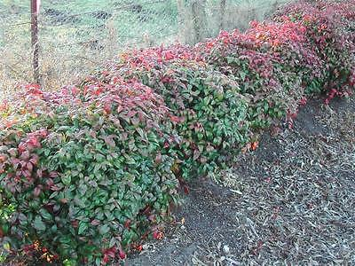 10 Dwarf Sacred Bamboo Nandina Plants Shrubs Hedge