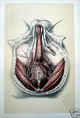 Antique Medical Anatomy 1895 Print 59, The Second View of the Perineum