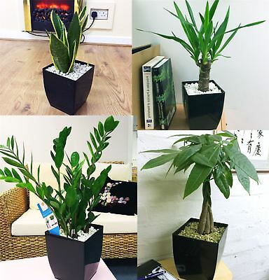 Office House Plant in Square Milano Gloss Black PVC Pot Evergreen Patio Garden