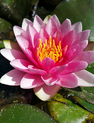 WATER LILY PLANT 'MRS RICHMOND' - LOVELY PINK FLOWERS - Hardy Type