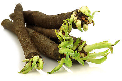 1g (~80) black salsify seeds SCORZONERA HISPANICA delicious