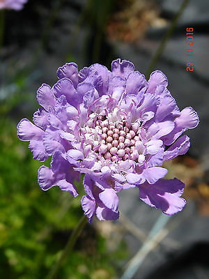 Scabiosa caucasica, Drought Hardy cottage perennial, blue flowers, 1 plant