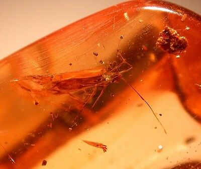 RARE Assassin Bug with Large Homopteran Beautiful Wings in Colombian Copal Amber