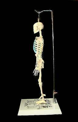 NEW 21 inch Tall Human Skeleton Model For Learning & Teaching Anatomy Anatomical