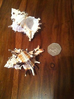 2X Murex Geniune Shell Aquarium Ornament Fish Tank Hermit Crab.