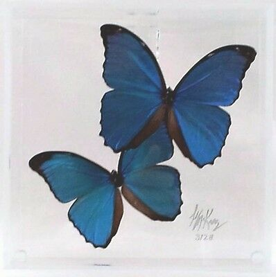 "SPRING SALE! Real Butterfly Display Art  ""Shimmer"" Blue Morpho -museum quality"