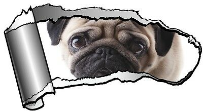 Ripped Open GASH Torn Metal with Cute Pet PUG Dog & Sad Eyes Car Sticker Decal