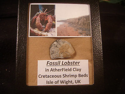 Dinosaur Period Rock Fossil Lobster Atherfield Clay Display Case Isle of Wight