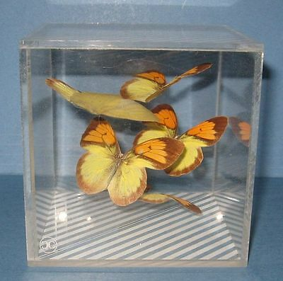 Real Butterflies In Lucite Box